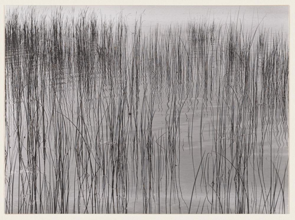 Harry Callahan, Weeds in Water, ca. 1941. Gelatin silver print on paper. Museum purchase 1961-23-7 © The Estate of Harry Callahan