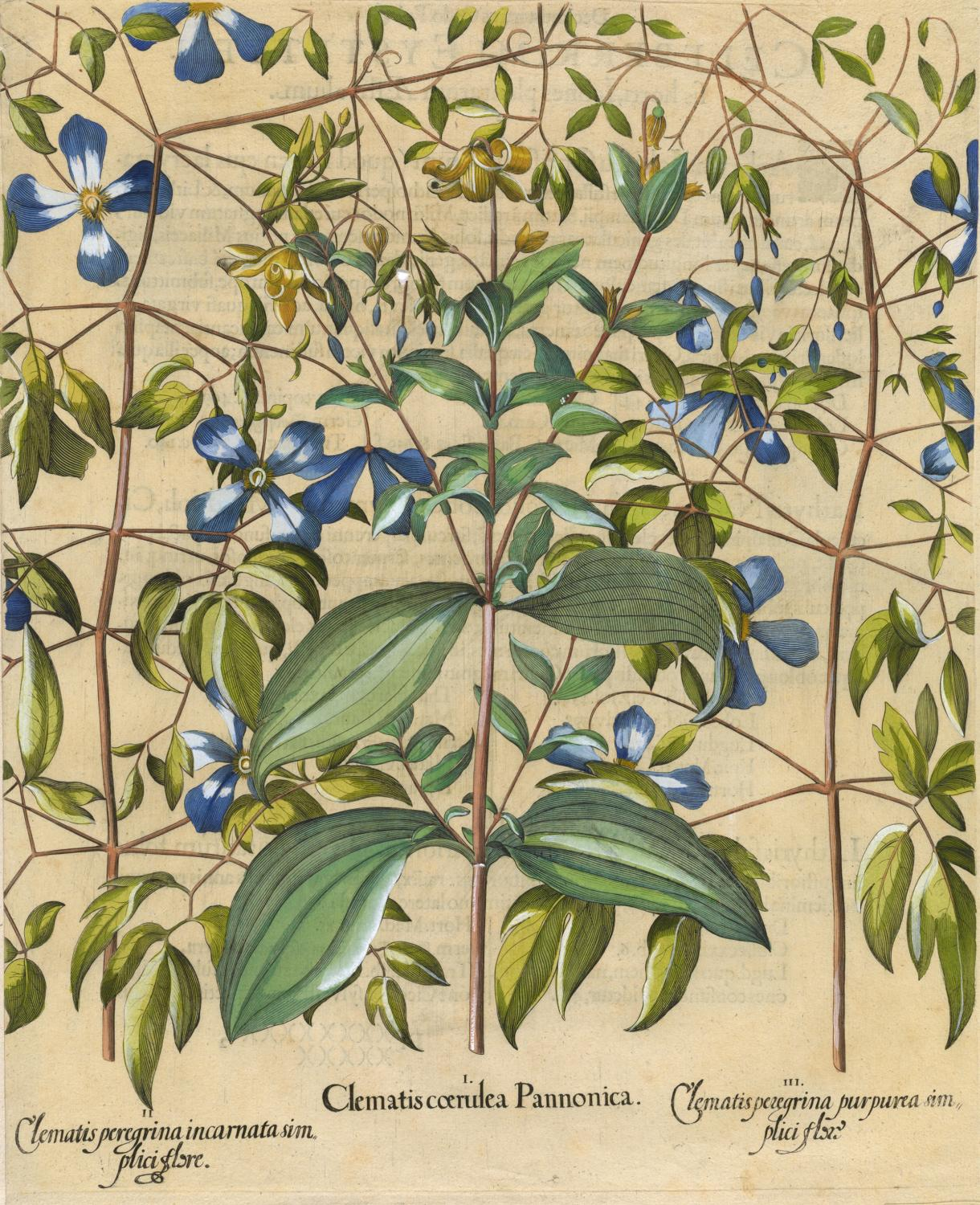 Unknown Artist, I. Clematis coerulea Pannonica; II. Clematis peregrina incarnata simplici flore; III. Clematis peregrina purpurea simplici flore (vine bower and blue clematis), from Basilius Besler, Hortus Eystettensis, Nürnberg, 1613. Hand-colored engrav