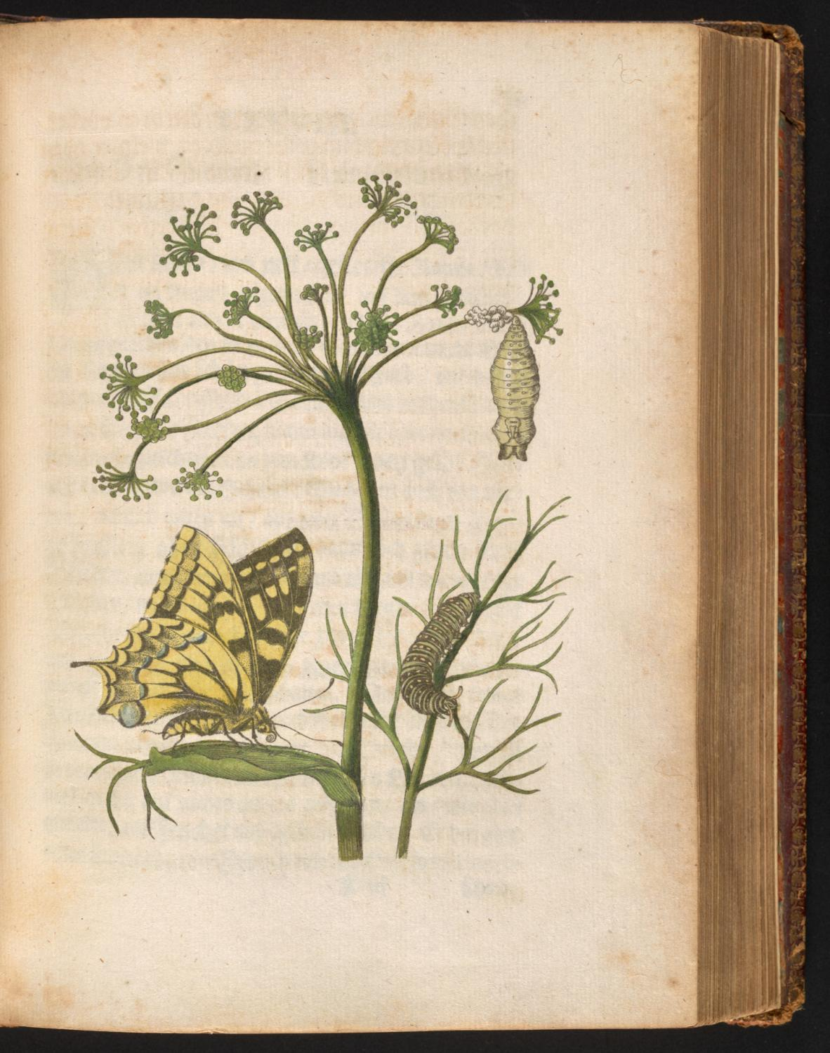 Maria Sibylla Merian, Fennel Plant with Swallowtail Caterpillar, Pupa, and Butterfly, from Der Raupen wunderbare Verwandelung un sonderbare Blum-Nahrung (The Caterpillar's Marvelous Transformation and Strange Floral Food), Nuremberg: 1679–1683. University